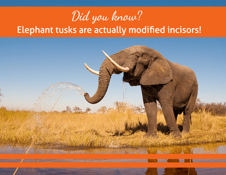 Did you know? Elephant tusks are actually modified incisors!